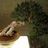 """La """"via"""" del bonsai"""